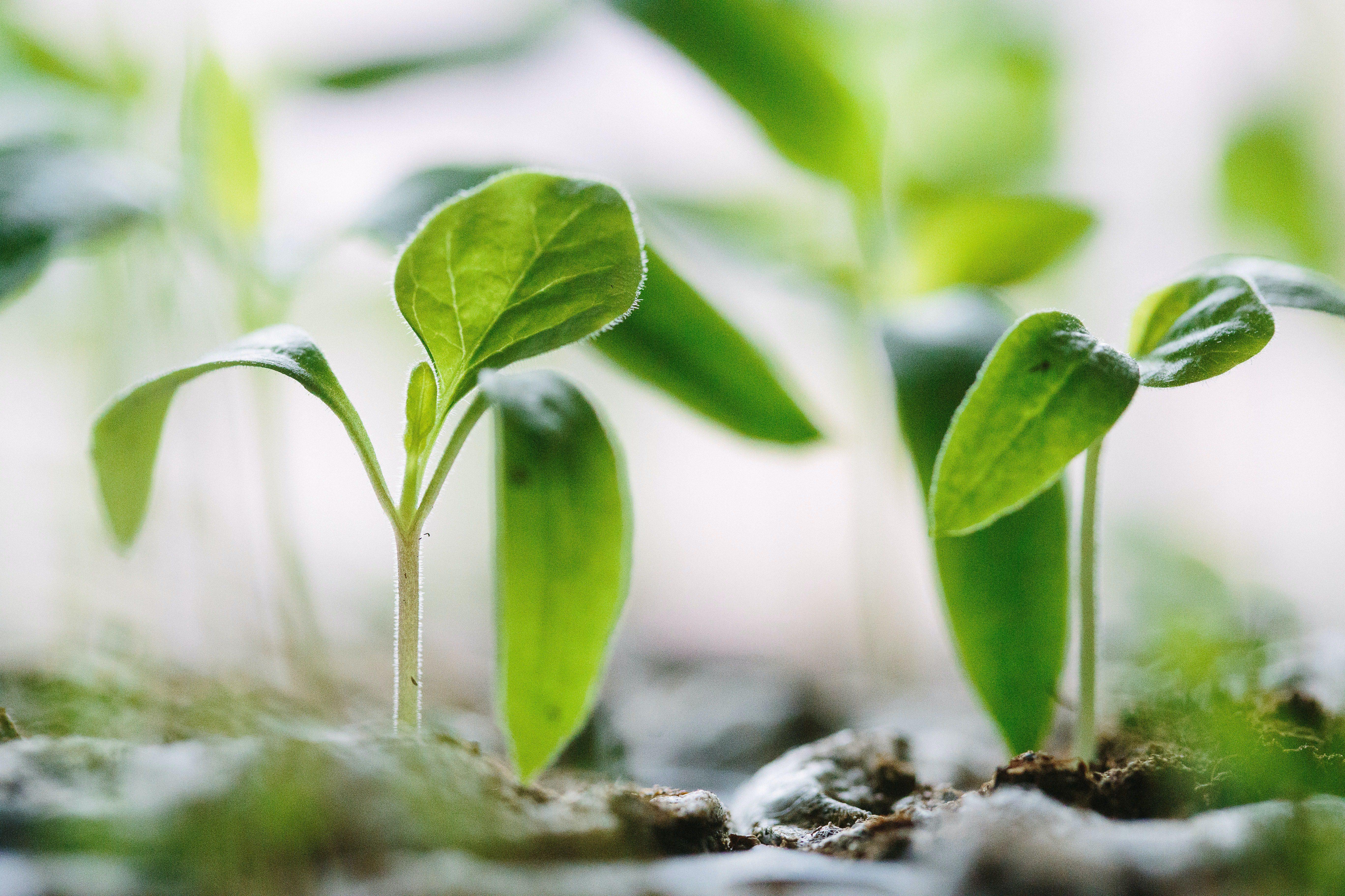 seedlings for detox