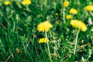 dandelion pesto