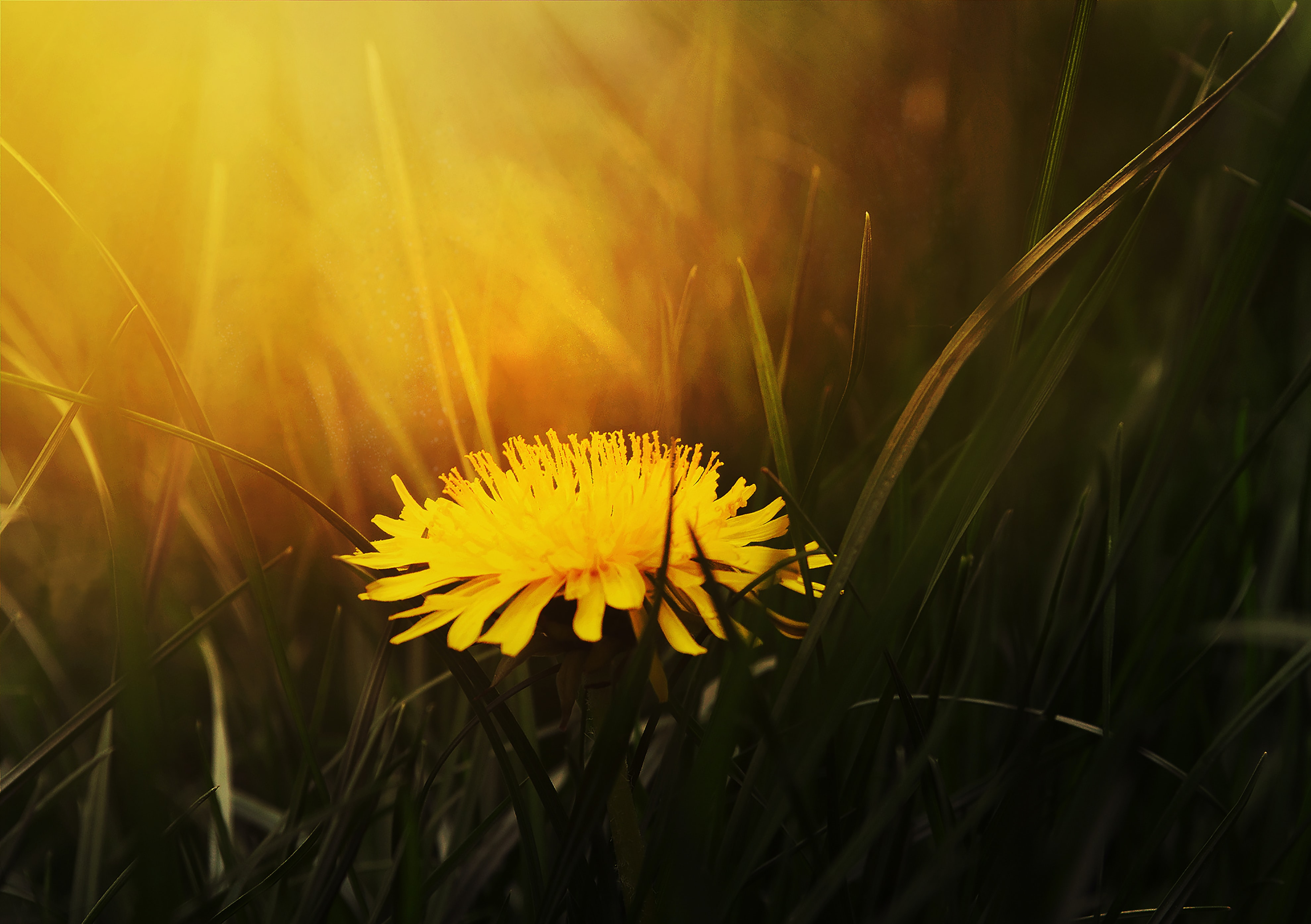 Dandelion: How To Eat and Prepare For Health